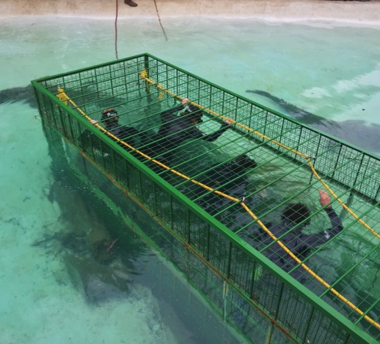 crocodile cage diving 01